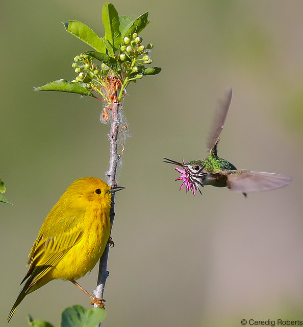 Calliope Hummingbird and a Yellow Warbler