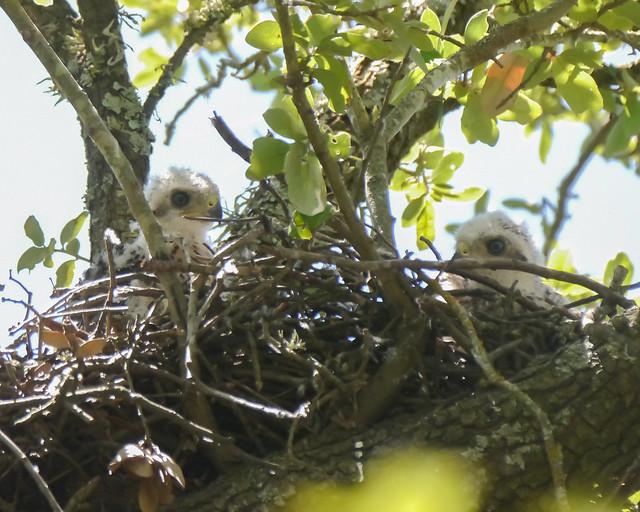 Cooper's Hawk Nestlings - 1