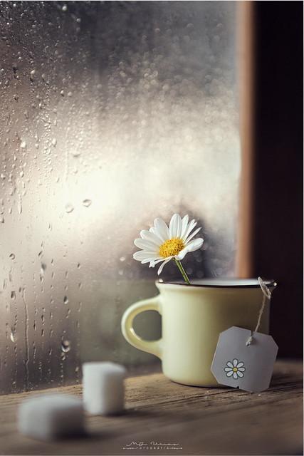 """""""Daisy tea"""""""