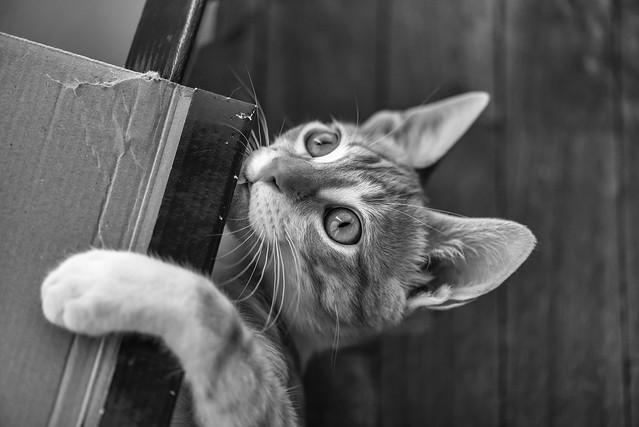 Cat playing II