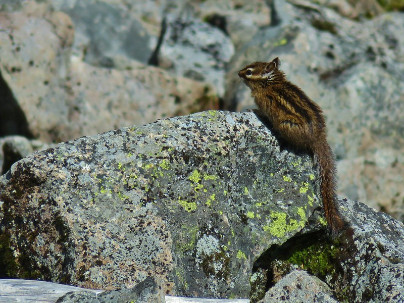 Chipmunk drying out on the rocks