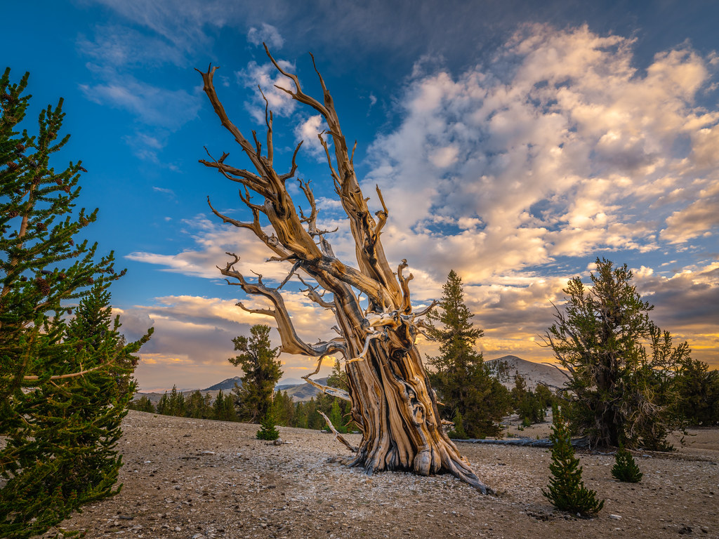 Patriarch Grove Ancient Bristlecone Pine Forest White Moun… | Flickr