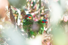 Musk lorikeets in Melbourne