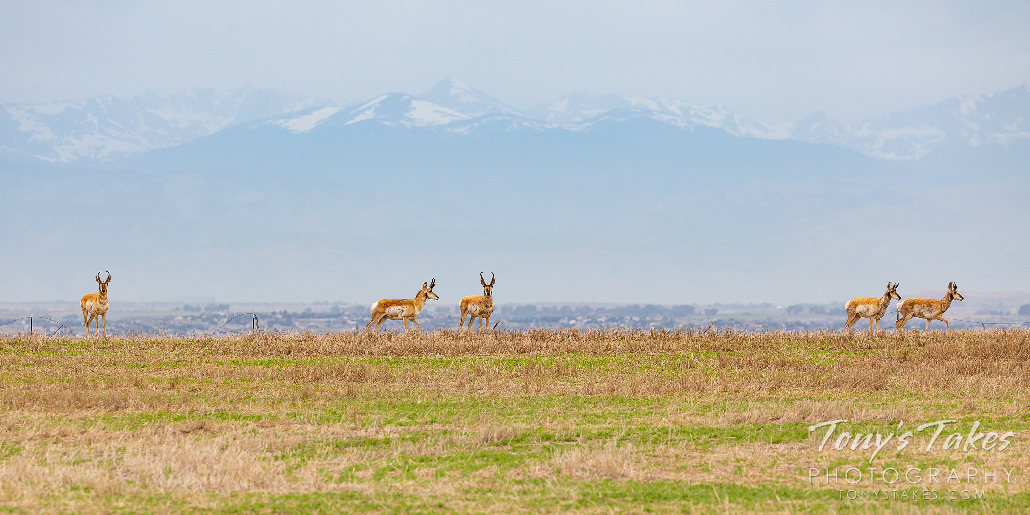 Pronghorn bucks stand on the plains with the Rocky Mountains in the background. (© Tony's Takes)