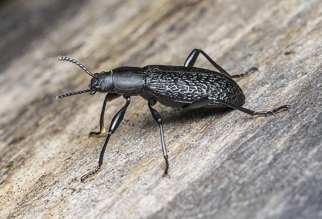 Roughened Darkling Beetle - Upis ceramboides (Tenebrionidae) 120z-6090363
