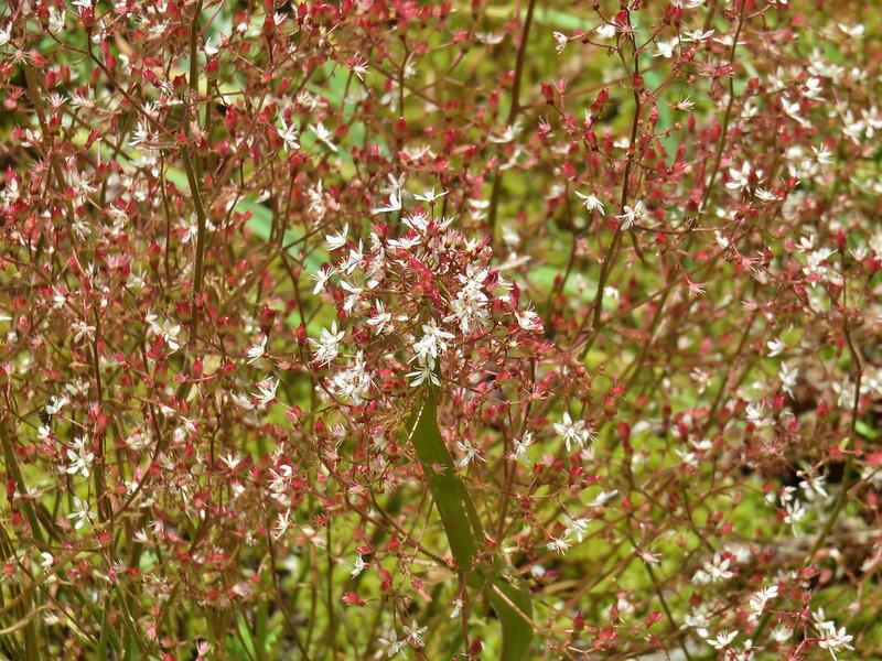 Rusty saxifrage