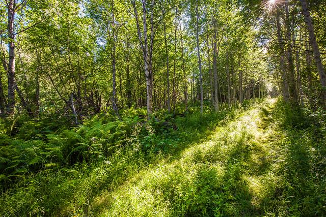 Sommer forest
