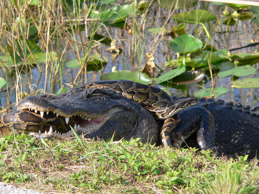 An American alligator and a Burmese python locked in a struggle to prevail in Everglades National Park.