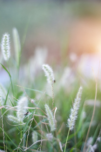 youngno50mm sunset flowers amazing landscapes green bokeh colors nature grass greenleaves yellowcolor