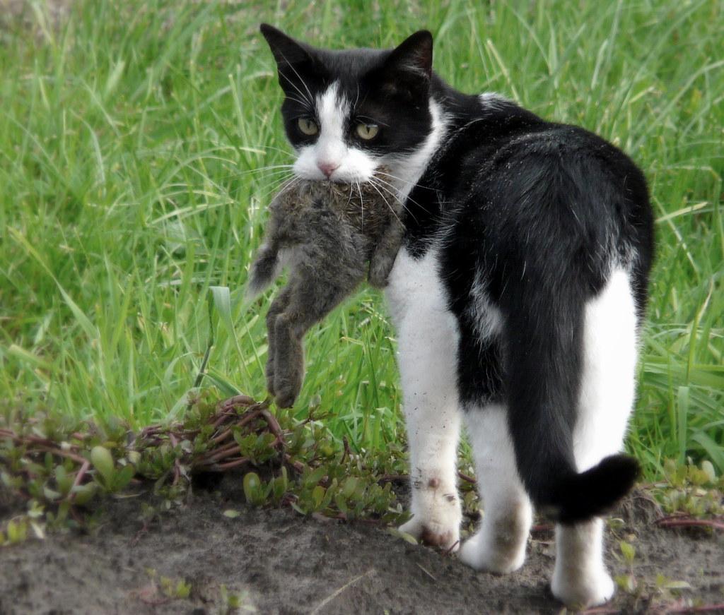 家貓捕捉野生動物