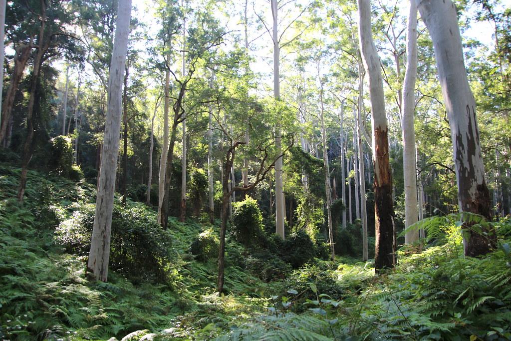 Sydney Blue Gum in Sydney (Eucalyptus saligna)