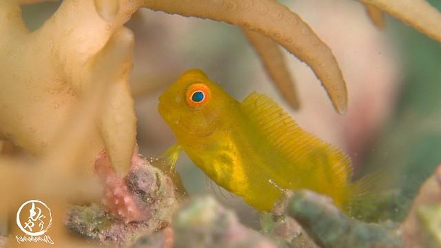 黄色いインドカエルウオ幼魚ちゃん♪