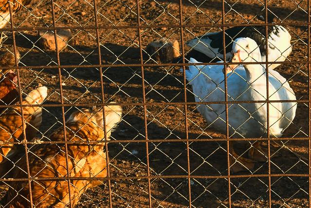 Un pato y las señoras gallinas
