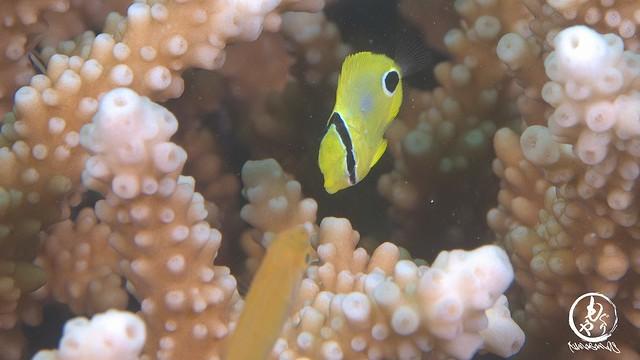 にらめっこ中のシテンヤッコ幼魚とサンゴアイゴ幼魚