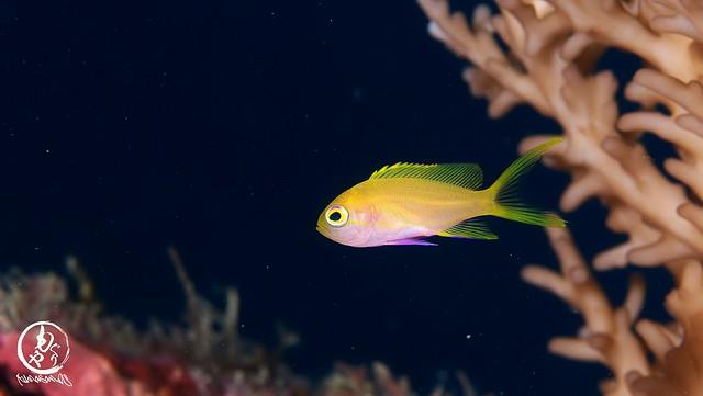 大量発生中のスミレナガハナダイ幼魚ちゃん♪