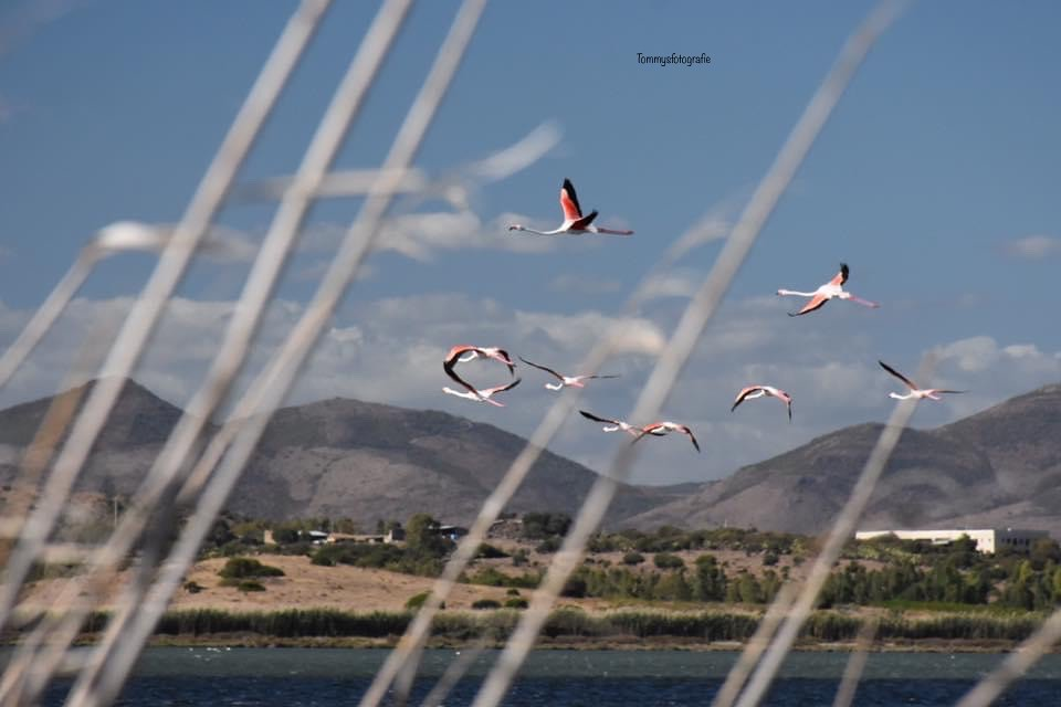 Flamingos in the air, Photo taken in the Salina near Porto Pino, Sardinia, Italy
