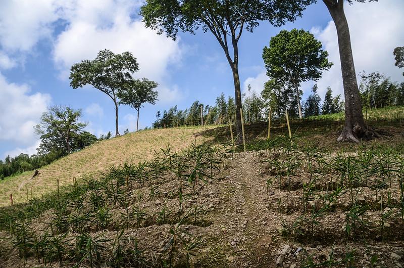 三份山山薑園 (3)