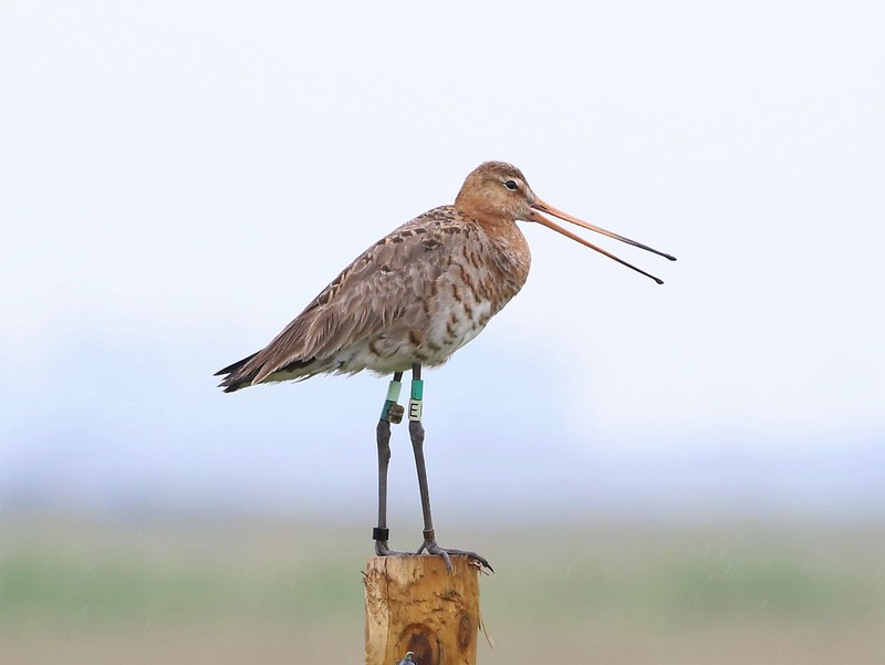 Black-tailed godwit 'Earith' at the RSPB Pilot Project site in 2020 (Jonathan Taylor, RSPB)