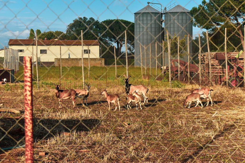 Familia de cabras en la granja