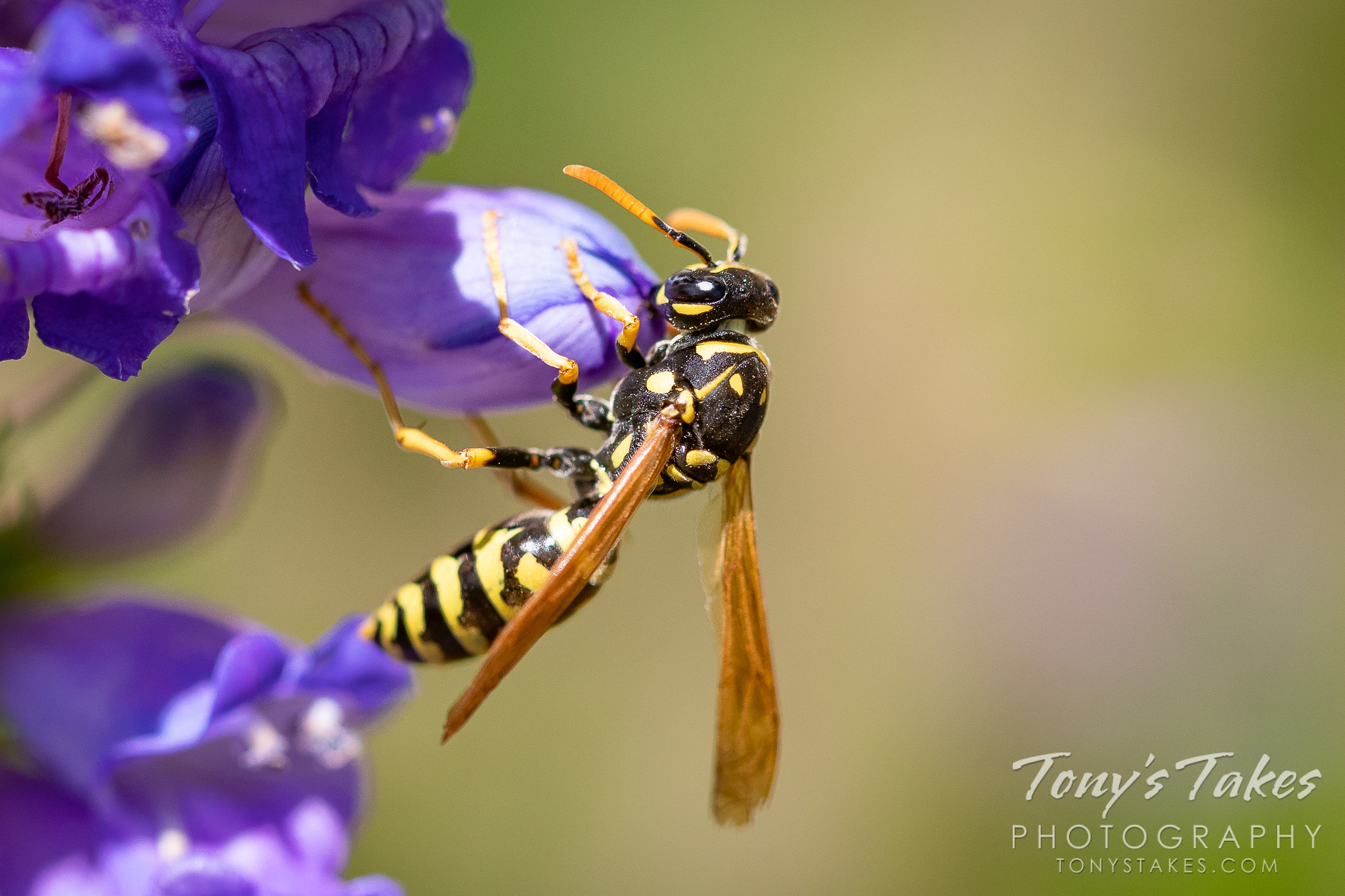 Paper #wasp looks for an afternoon meal