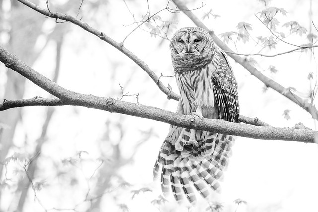 Barred Owl Stretch B & W