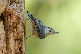 White-breasted Nuthatch | by Becky Matsubara