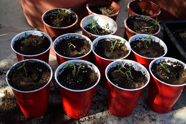 Plantines de pimiento morrón (Nikon D3300 DSC_0684)