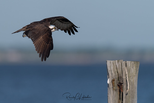 Osprey of the Jersey Shore | 2020 - 21