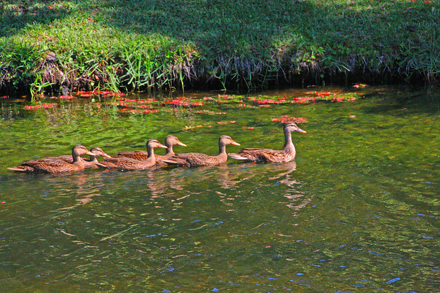 Group of Ducks in Retention Pond along Ridgemoor Blvd, Pinellas County, FL (1 of 2)