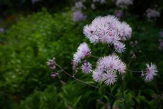 Thalictrum Flower