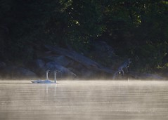 Trumpeter Swans on Crane Lake