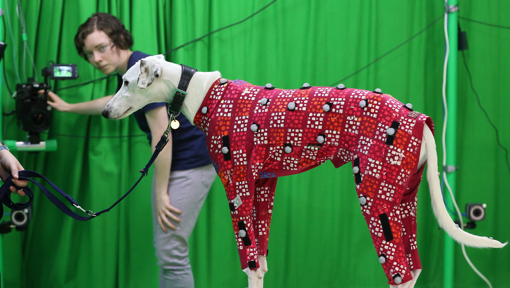 Dog wearing a motion capture suit in a green screen studio; researcher adjusting a camera in the background