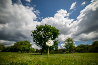 Lonely dandelion in a park