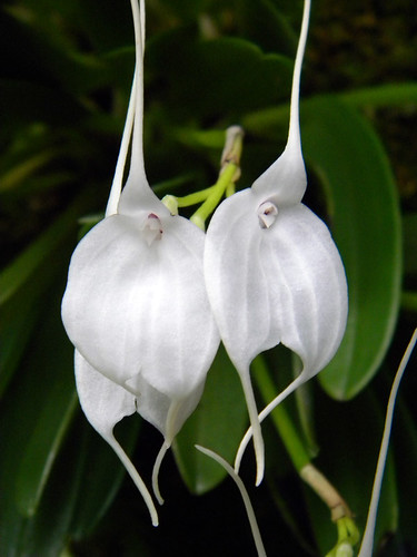 Two unusual white orchids in the Singapore Botanical Garden