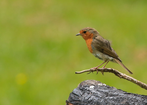 European robin aka Redbreast | by xd_travel