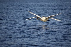Low-flying Trumpeter Swans