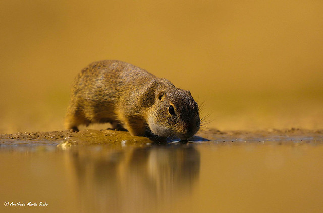 The thirsty Ground-Squirrel (Citellus) Spermophilus - Λαγόγυρος, a kis aranyos szomjas Ürge