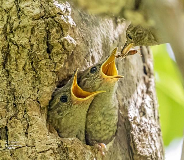House Wren Nest.