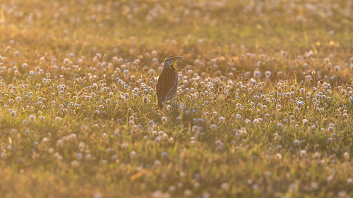 birds subject easternmeadowlark events backyardbirding arkansas places centerton sturnellamagna icterid nearthreatened bird meadow foraging berries sunset goldenhour goldenlight gorgeous summer field wildflowers