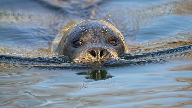 Seal swimming towards me