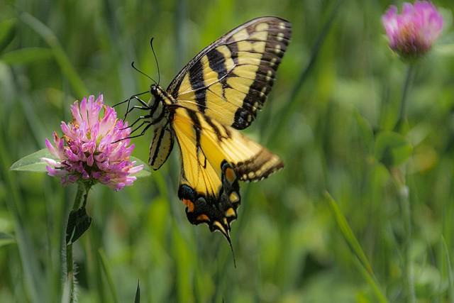 Tiger Swallowtail