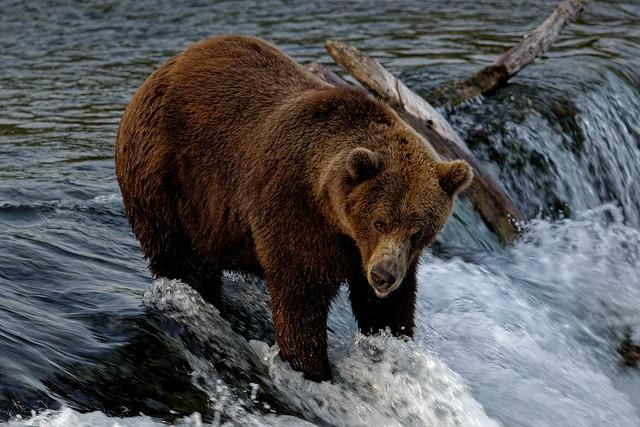 I'm Pretty Sure This Brown Bear Wants Some Salmon! (Katmai National Park & Preserve)