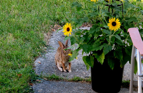 rabbit eating one of my sunflower's