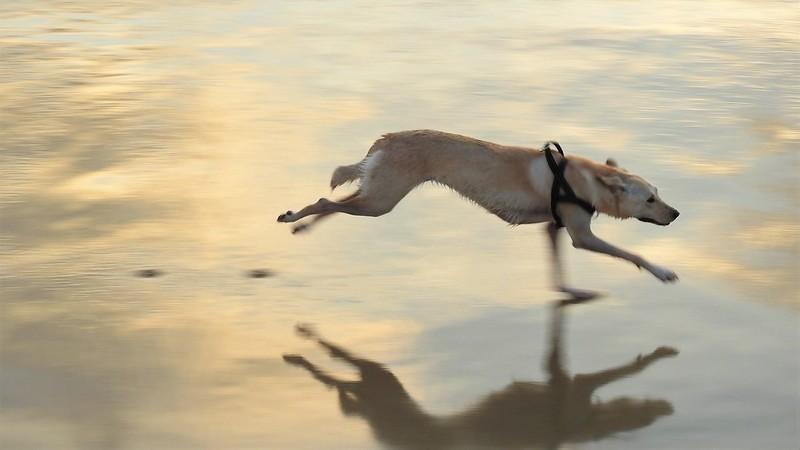 Dog is running