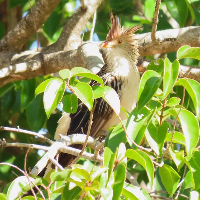 Rabo-de-Palha/Guira Cuckoo