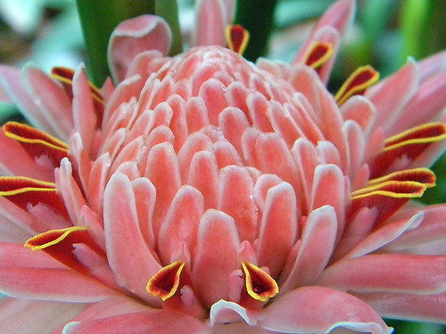 Coral pink torch ginger in the Singapore Botanical Garden