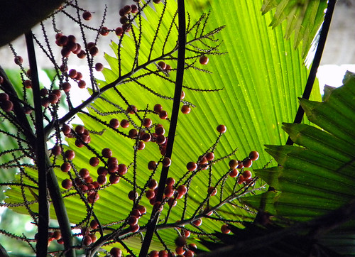 Back-lit palm leaf with red berries in front in the Singapore Botanical Garden