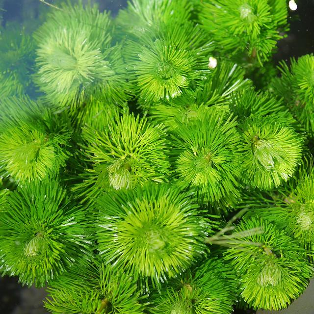 カボンバ ハゴロモモ 羽衣藻 金魚藻 ビオトープ 水生植物 Cabomba carolinian