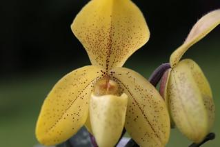 Paphiopedilum concolor var striatum