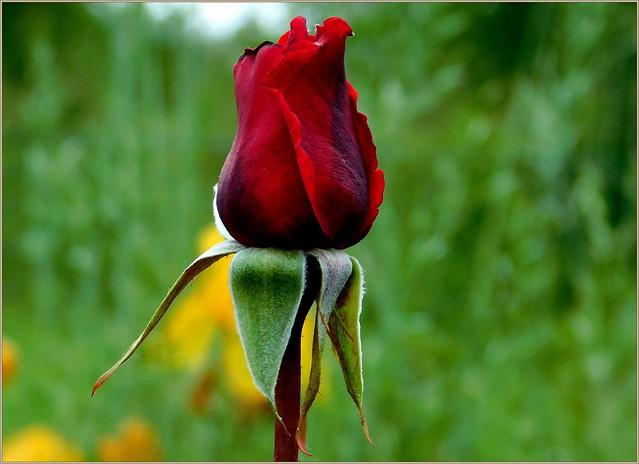 Pąsowa róża.